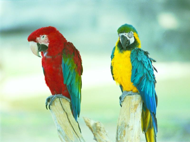 Papagáj červený a modrý papagájec ara